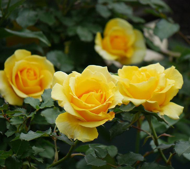 つるゴールドバニー(ツルバラ)の花がたくさん咲いた。2020年-14.jpg