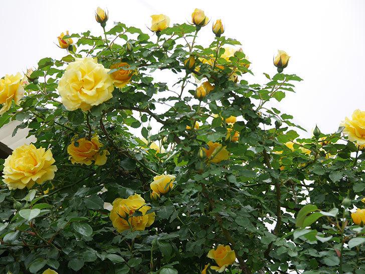 つるゴールドバニー(ツルバラ)の花がたくさん咲いた。2020年-15.jpg