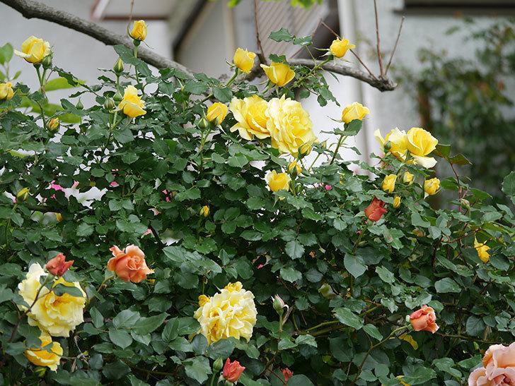 つるゴールドバニー(ツルバラ)の花がたくさん咲いた。2020年-16.jpg