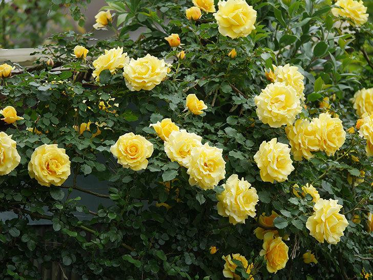 つるゴールドバニー(ツルバラ)の花がたくさん咲いた。2020年-2.jpg