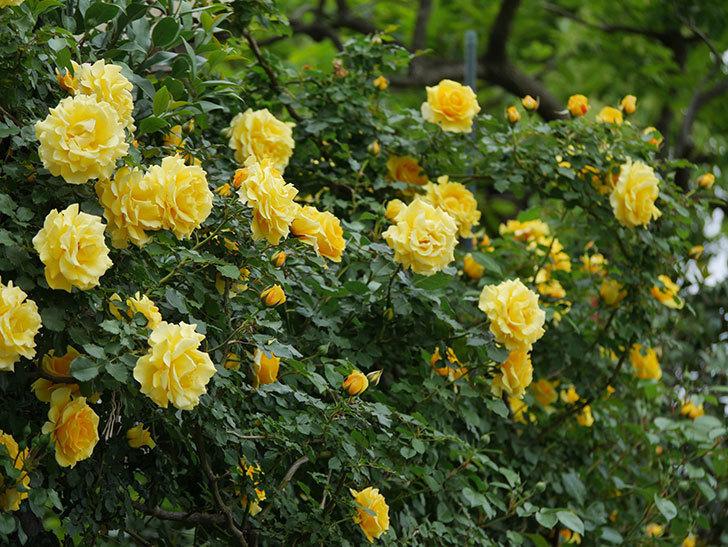 つるゴールドバニー(ツルバラ)の花がたくさん咲いた。2020年-3.jpg
