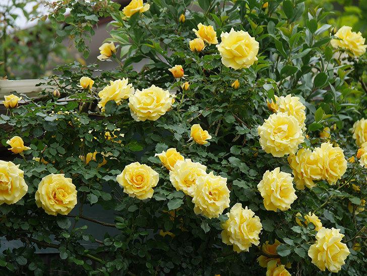 つるゴールドバニー(ツルバラ)の花がたくさん咲いた。2020年-4.jpg