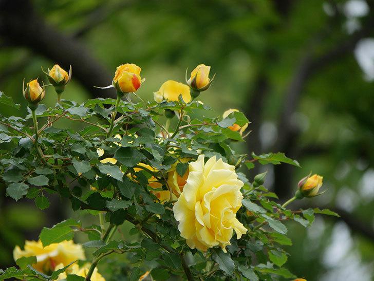 つるゴールドバニー(ツルバラ)の花がたくさん咲いた。2020年-7.jpg