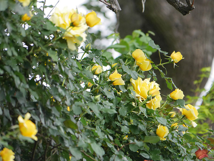 つるゴールドバニー(ツルバラ)の花がたくさん咲いた。2020年-8.jpg