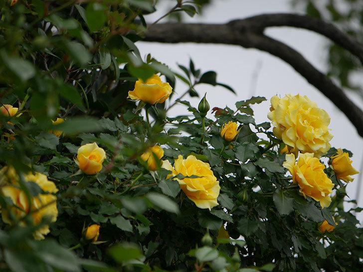 つるゴールドバニー(ツルバラ)の花がたくさん咲いた。2020年-9.jpg