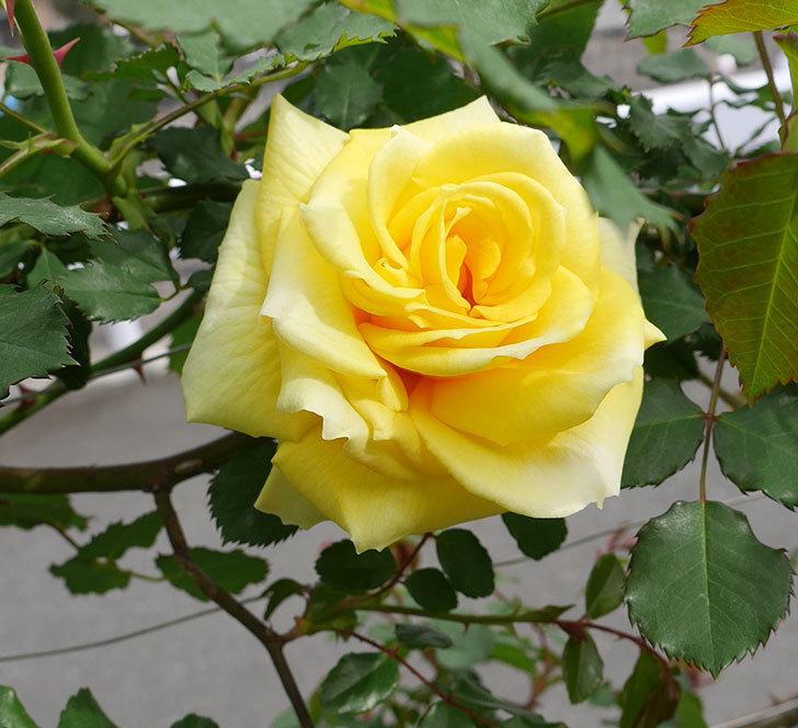 つるゴールドバニー(ツルバラ)の花がまた咲いた。2018年-1.jpg