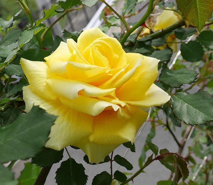 つるゴールドバニー(ツルバラ)の花がまた咲いた。2018年-2.jpg