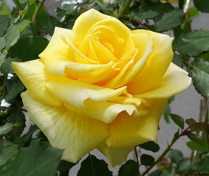 つるゴールドバニー(ツルバラ)の花がまた咲いた。2018年-3.jpg