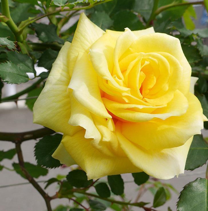 つるゴールドバニー(ツルバラ)の花がまた咲いた。2018年-4.jpg