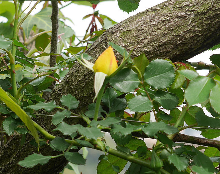 つるゴールドバニー(ツルバラ)の花がまた咲いた。2018年-5.jpg