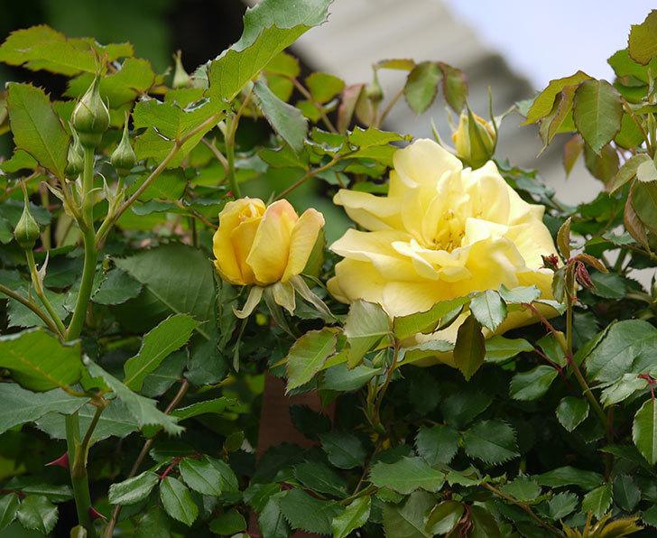 つるゴールドバニー(ツルバラ)の花がまた咲いた。2018年-6.jpg