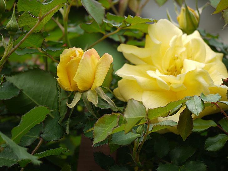 つるゴールドバニー(ツルバラ)の花がまた咲いた。2018年-7.jpg