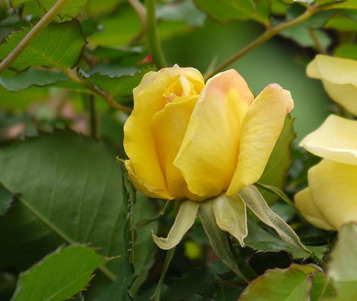 つるゴールドバニー(ツルバラ)の花がまた咲いた。2018年-8.jpg