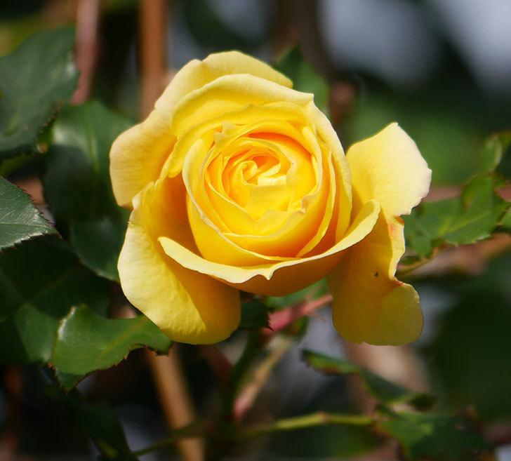 つるゴールドバニー(ツルバラ)の花がまだかなり咲いている。2020年-1.jpg