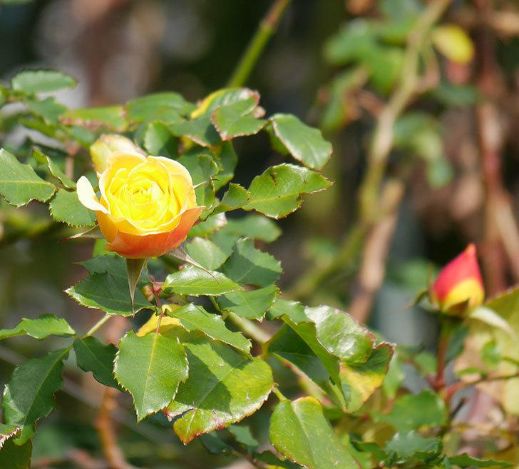 つるゴールドバニー(ツルバラ)の花がまだかなり咲いている。2020年-10.jpg