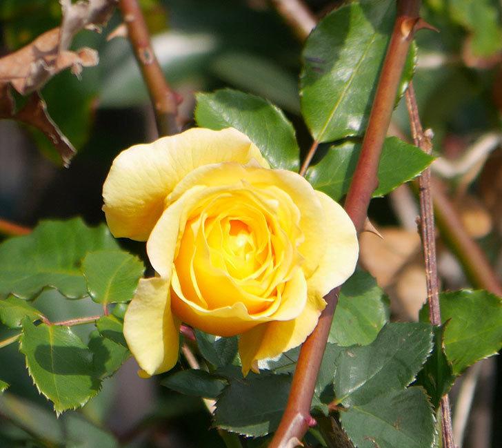 つるゴールドバニー(ツルバラ)の花がまだかなり咲いている。2020年-11.jpg