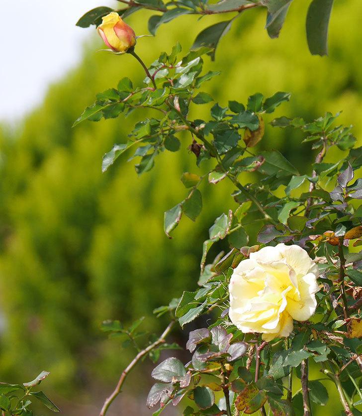 つるゴールドバニー(ツルバラ)の花がまだかなり咲いている。2020年-13.jpg