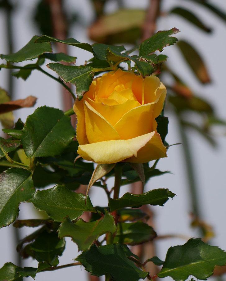 つるゴールドバニー(ツルバラ)の花がまだかなり咲いている。2020年-15.jpg