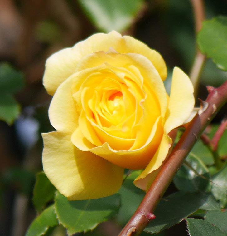 つるゴールドバニー(ツルバラ)の花がまだかなり咲いている。2020年-16.jpg