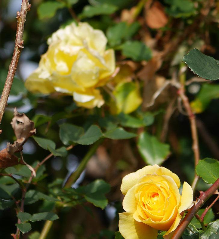 つるゴールドバニー(ツルバラ)の花がまだかなり咲いている。2020年-17.jpg