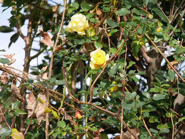 つるゴールドバニー(ツルバラ)の花がまだかなり咲いている。2020年-18.jpg