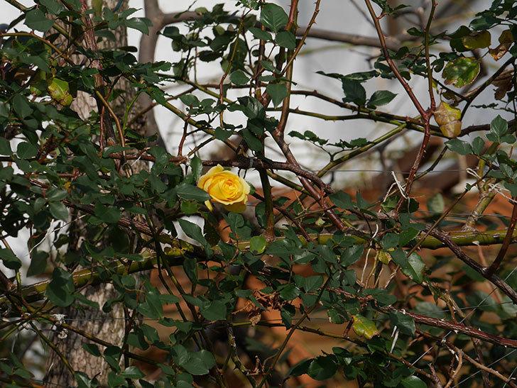 つるゴールドバニー(ツルバラ)の花がまだかなり咲いている。2020年-19.jpg