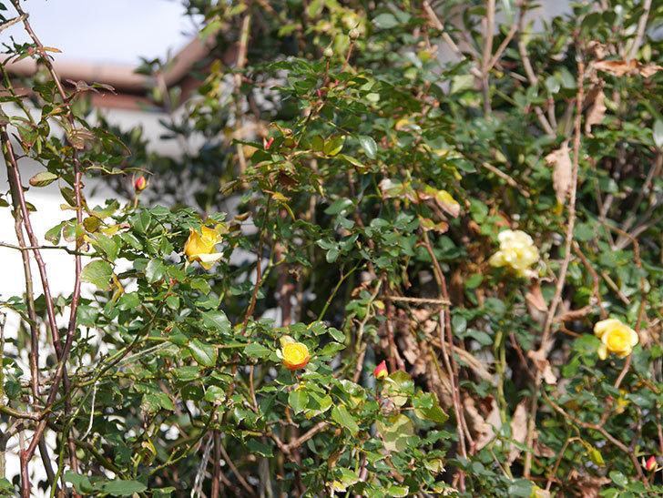 つるゴールドバニー(ツルバラ)の花がまだかなり咲いている。2020年-2.jpg