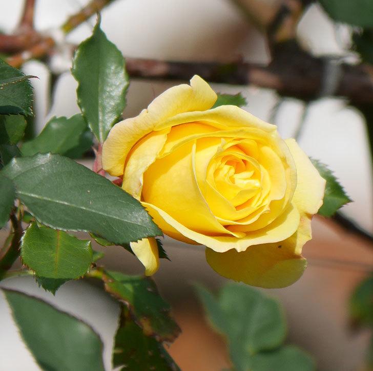 つるゴールドバニー(ツルバラ)の花がまだかなり咲いている。2020年-20.jpg