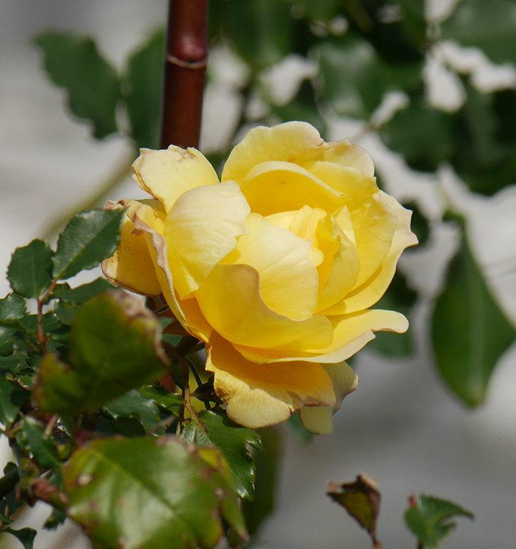 つるゴールドバニー(ツルバラ)の花がまだかなり咲いている。2020年-21.jpg