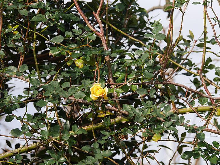 つるゴールドバニー(ツルバラ)の花がまだかなり咲いている。2020年-22.jpg