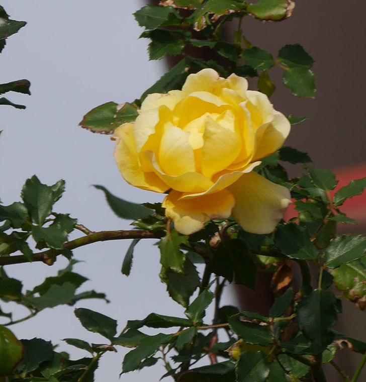 つるゴールドバニー(ツルバラ)の花がまだかなり咲いている。2020年-23.jpg