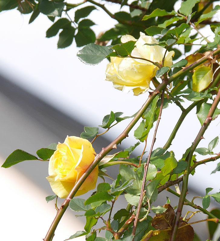 つるゴールドバニー(ツルバラ)の花がまだかなり咲いている。2020年-24.jpg