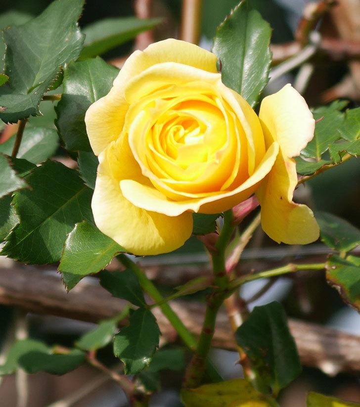 つるゴールドバニー(ツルバラ)の花がまだかなり咲いている。2020年-25.jpg