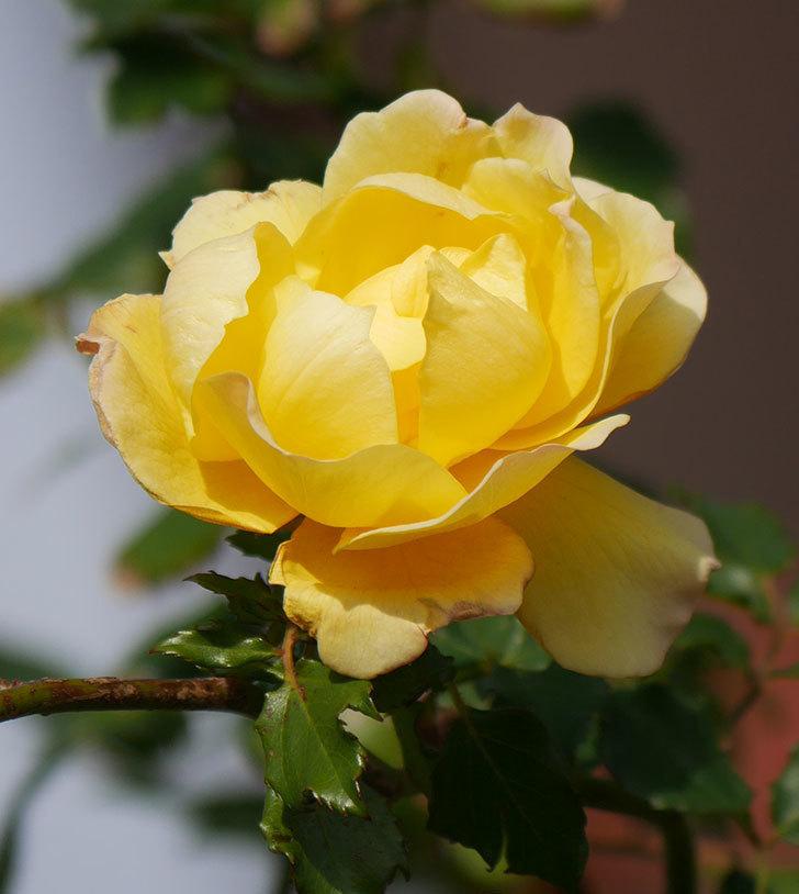 つるゴールドバニー(ツルバラ)の花がまだかなり咲いている。2020年-26.jpg