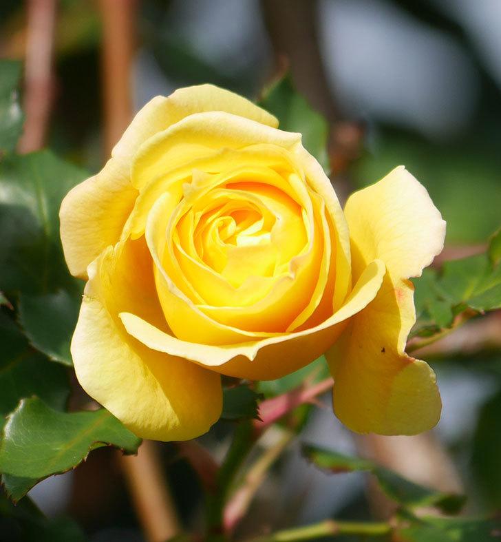 つるゴールドバニー(ツルバラ)の花がまだかなり咲いている。2020年-27.jpg