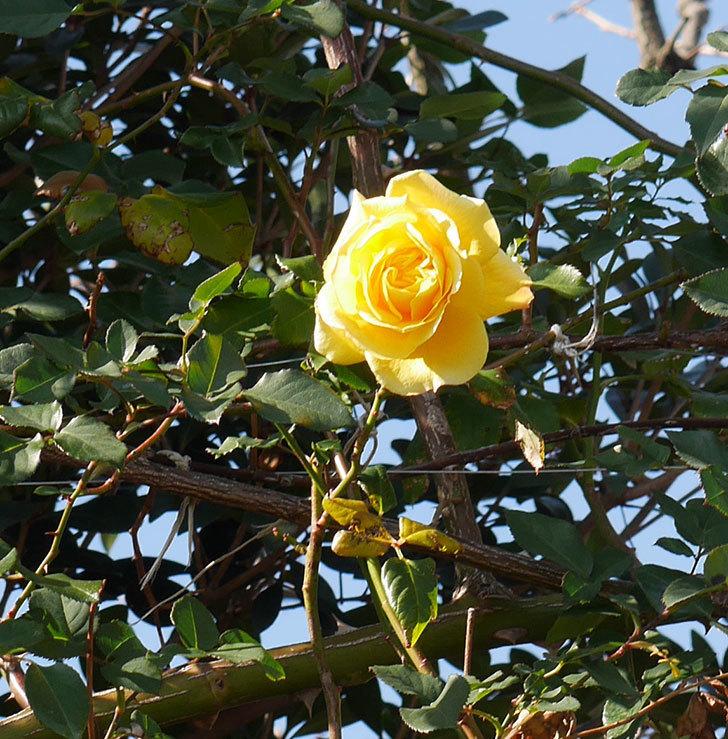 つるゴールドバニー(ツルバラ)の花がまだかなり咲いている。2020年-28.jpg