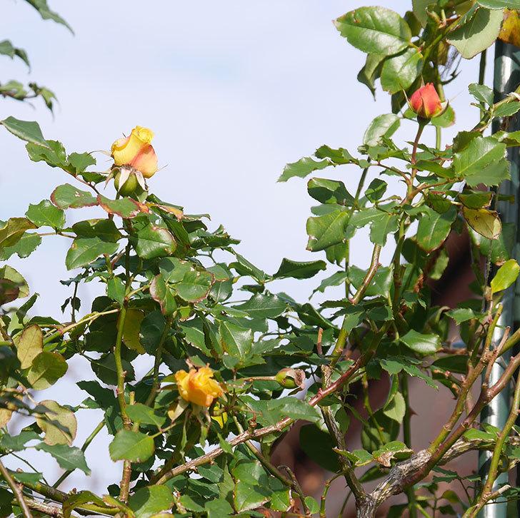 つるゴールドバニー(ツルバラ)の花がまだかなり咲いている。2020年-3.jpg
