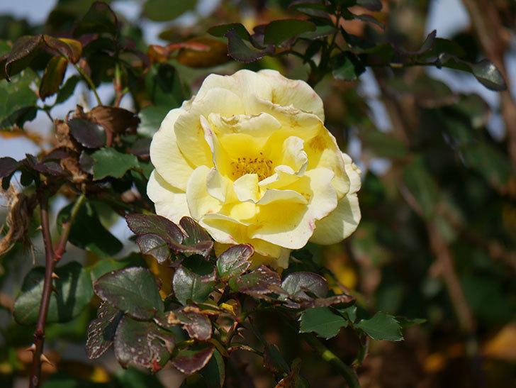 つるゴールドバニー(ツルバラ)の花がまだかなり咲いている。2020年-4.jpg
