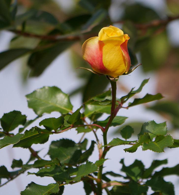 つるゴールドバニー(ツルバラ)の花がまだかなり咲いている。2020年-5.jpg