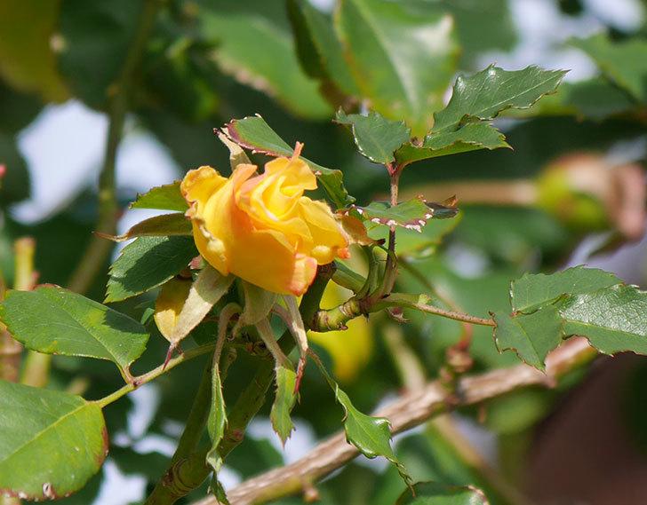 つるゴールドバニー(ツルバラ)の花がまだかなり咲いている。2020年-6.jpg
