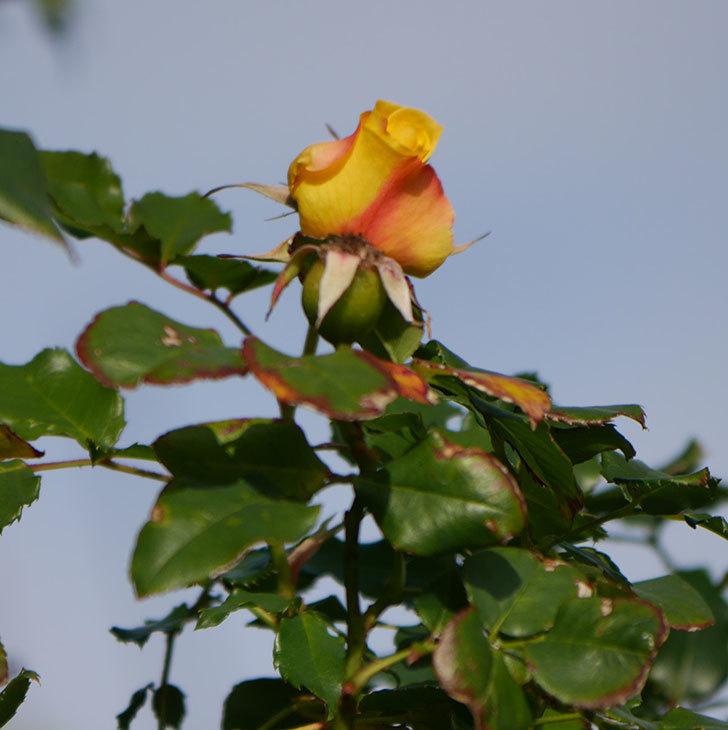 つるゴールドバニー(ツルバラ)の花がまだかなり咲いている。2020年-7.jpg