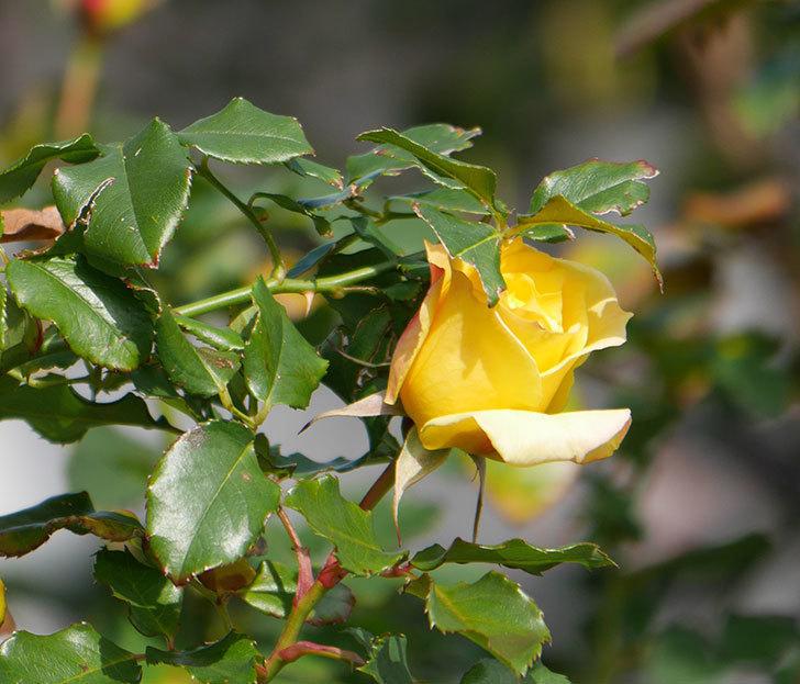 つるゴールドバニー(ツルバラ)の花がまだかなり咲いている。2020年-9.jpg