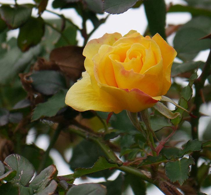 つるゴールドバニー(ツルバラ)の花がまだ咲いている。2019年-1.jpg