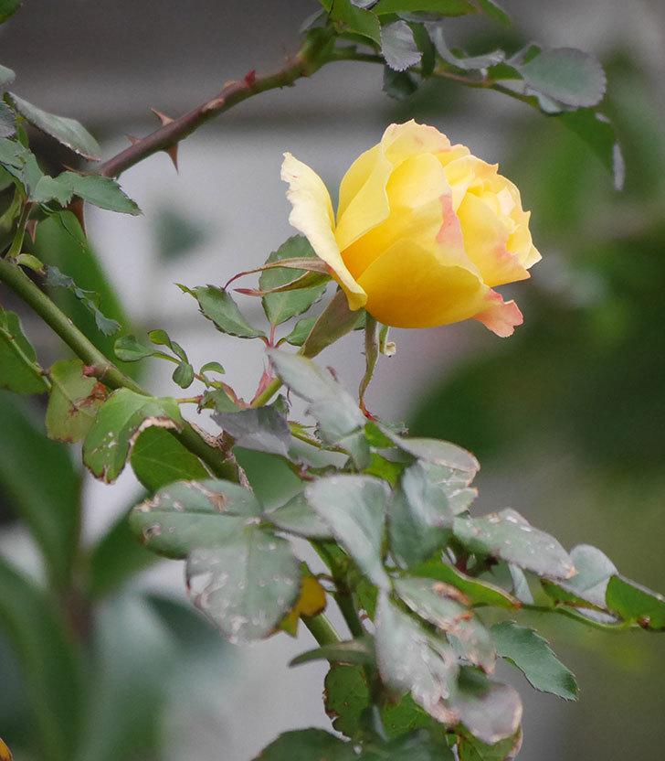つるゴールドバニー(ツルバラ)の花がまだ咲いている。2019年-2.jpg