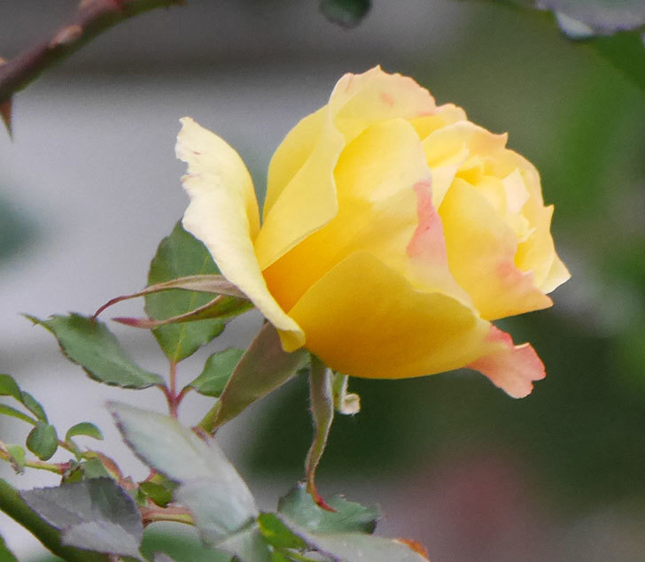 つるゴールドバニー(ツルバラ)の花がまだ咲いている。2019年-3.jpg