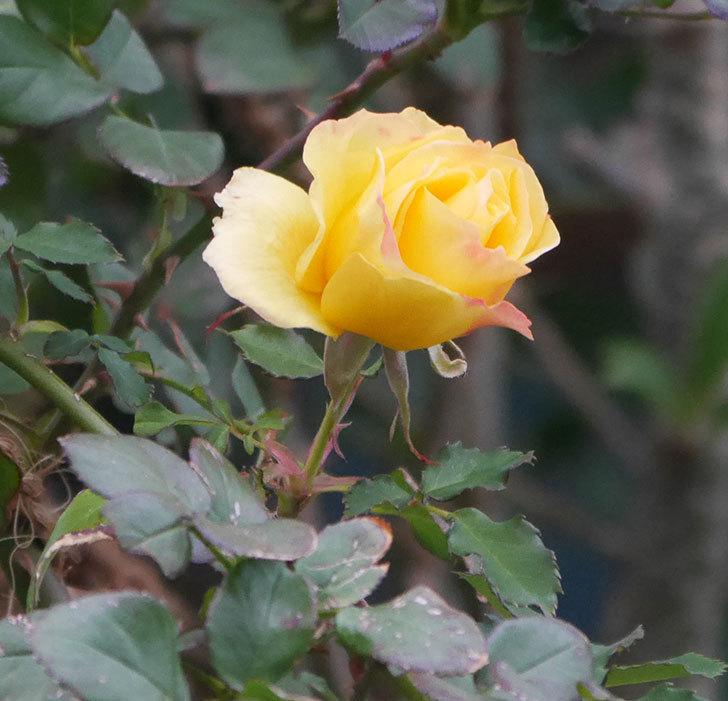 つるゴールドバニー(ツルバラ)の花がまだ咲いている。2019年-4.jpg