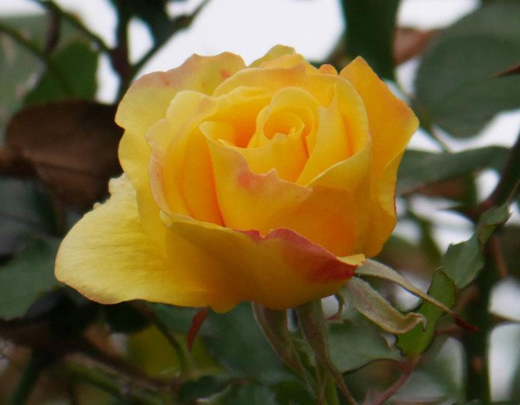 つるゴールドバニー(ツルバラ)の花がまだ咲いている。2019年-5.jpg