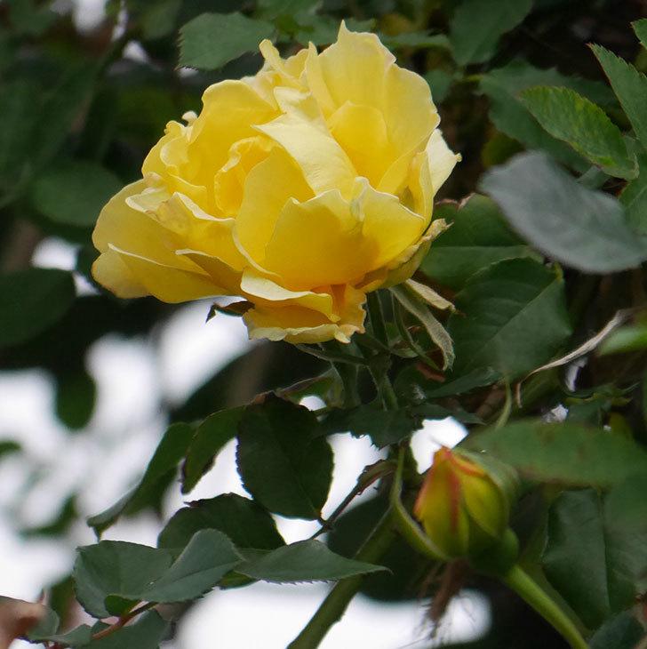 つるゴールドバニー(ツルバラ)の花がまだ咲いている。2019年-6.jpg