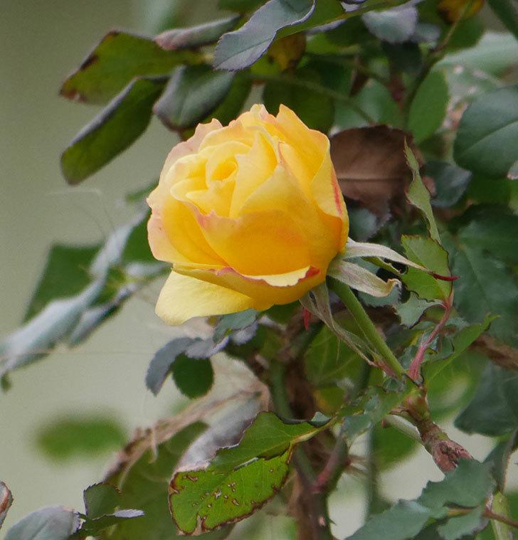 つるゴールドバニー(ツルバラ)の花がまだ咲いている。2019年-7.jpg