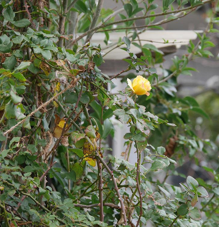つるゴールドバニー(ツルバラ)の花がまだ咲いている。2019年-8.jpg